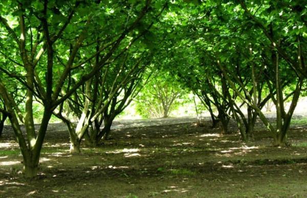 terreno agricolo vendita nizza monferrato di metri quadrati 30000 rif nocciole in provincia di at